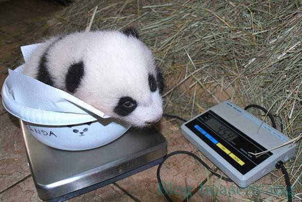 can-dong-vat-panda-weighing-hoasenvang